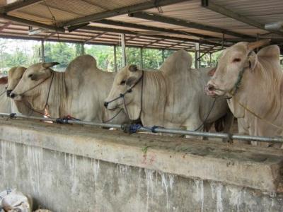 penggemukan sapi potong, sapi limousine, sapi simmental, ternak sapi   usaha ternak