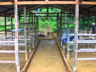 kandang penggemukan sapi, cara penggemukan sapi | usaha ternak