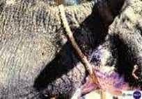 penyakit skabies sapi dan obatnya