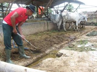 kandang sapi bersih | usahaternak